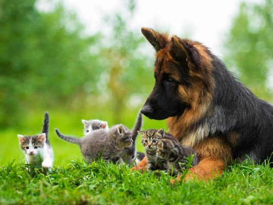 chó becgie và mèo