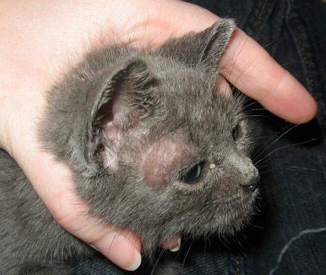 Mèo bị nấm da có nguy hiểm không?