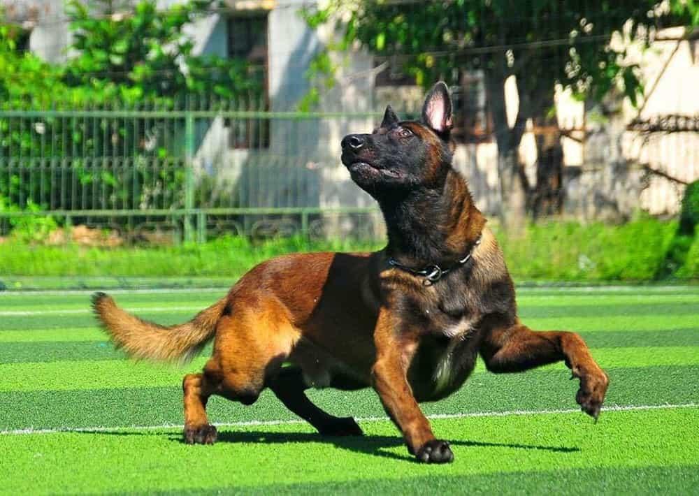 đồ chơi cho chó Malinois1