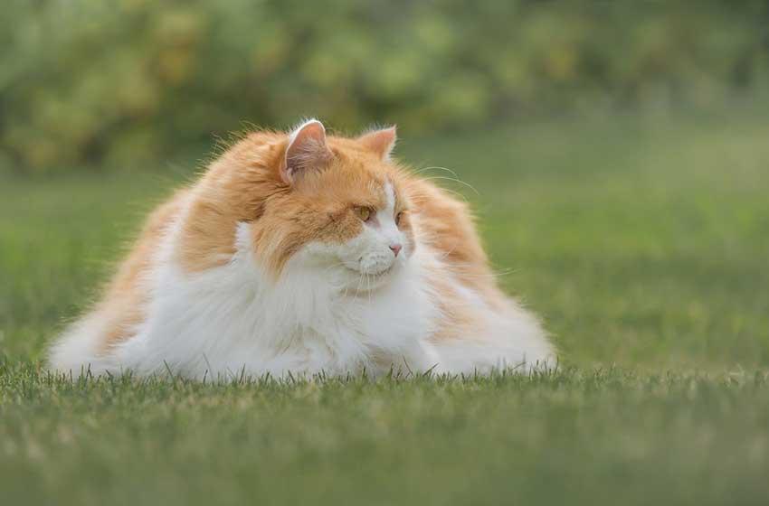 mèo Anh lông dài màu vàng
