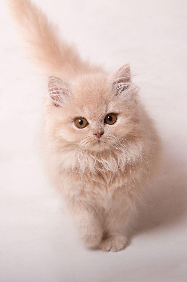 mèo Anh lông dài màu vàng1