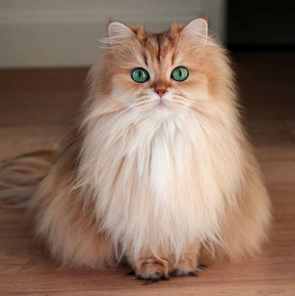 Mèo Anh lông dài giá sinh viên1