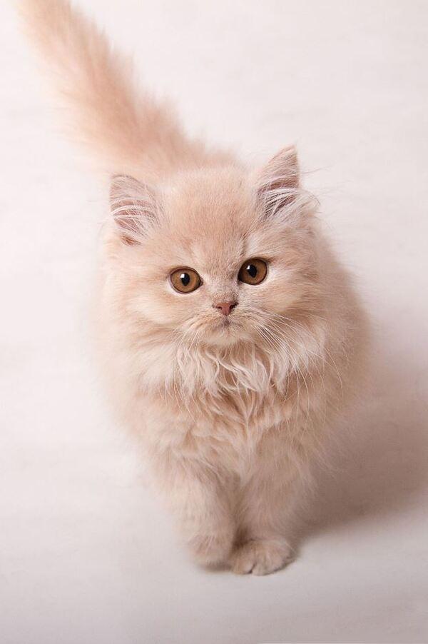 Mèo Anh lông dài giá sinh viên