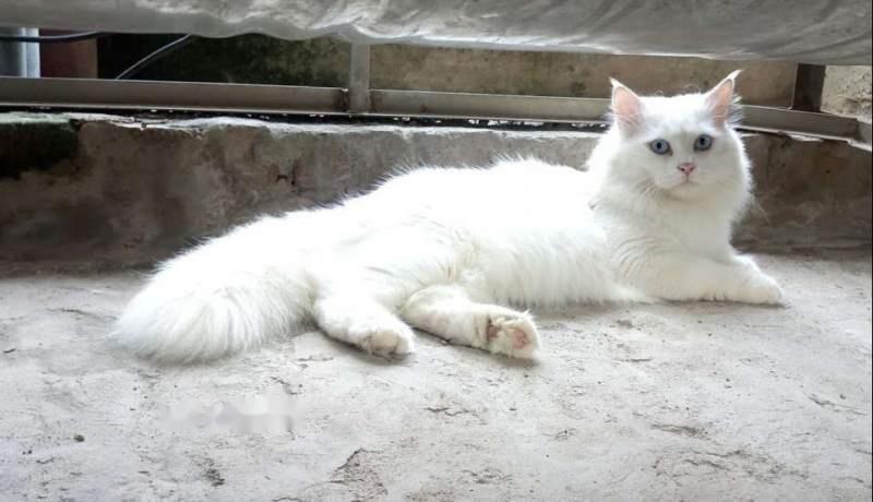 Mèo Anh lông dài giá sinh viên4