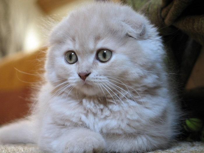 Mèo Anh lông dài giá sinh viên3