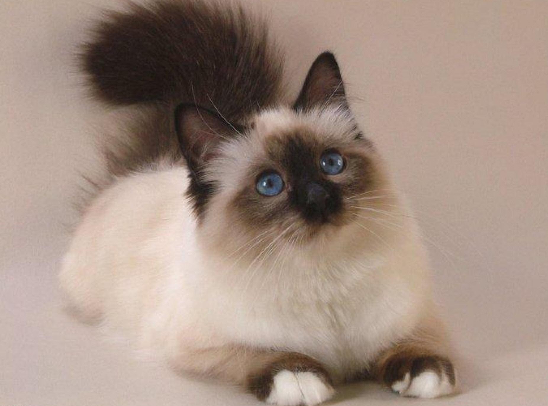 Mèo Anh lông dài giá sinh viên2