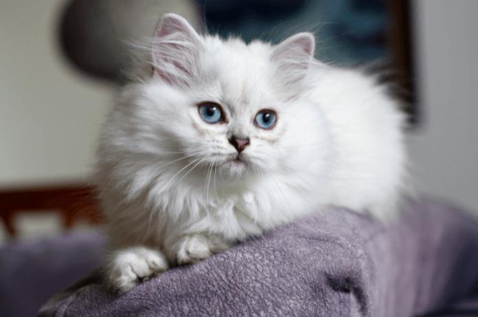 mèo Anh lông dài lai Ba Tư