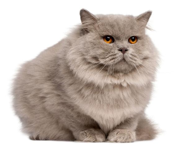 mèo Anh lông dài lai Ba Tư1