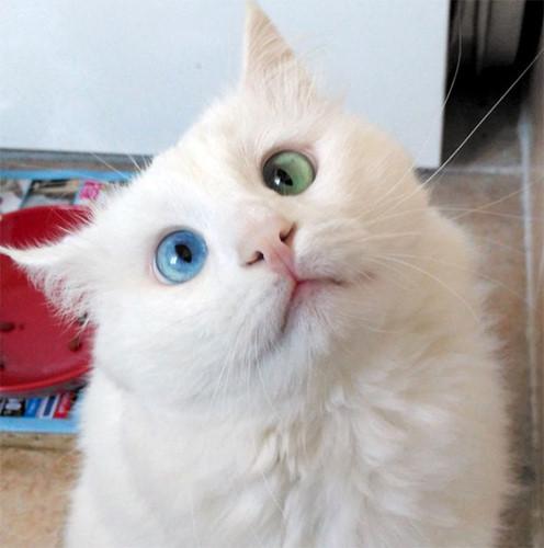 mèo Anh lông dài mắt 2 màu1