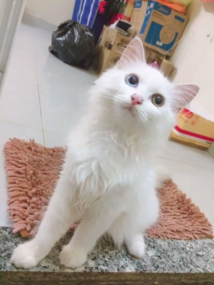 mèo Anh lông dài mắt 2 màu3