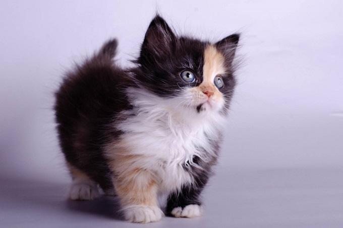 Mèo Anh lông dài lai tam thể1