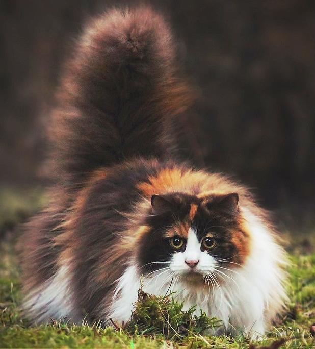 Mèo Anh lông dài lai tam thể