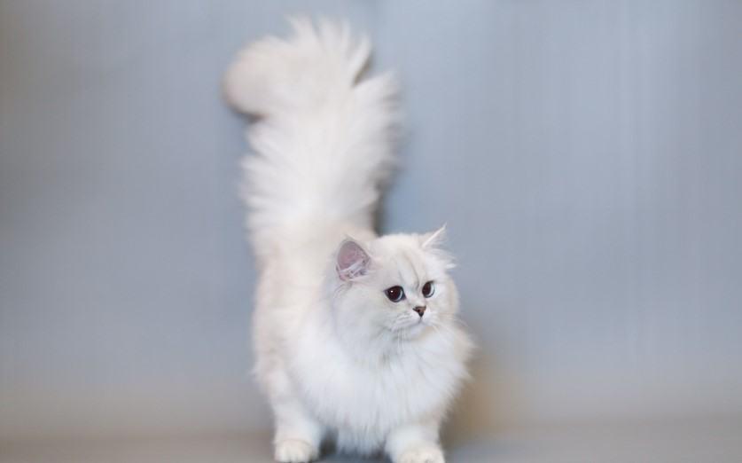 Mèo Anh lông dài trắng3