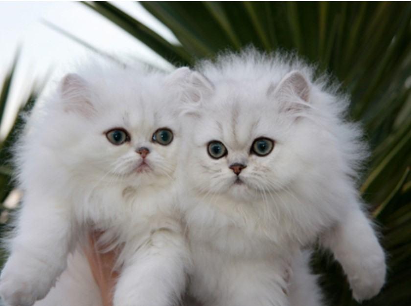 Mèo Anh lông dài trắng