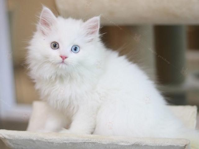 Mèo Anh lông dài trắng2